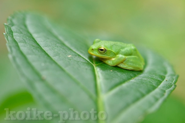 2019918-schlegels-green-tree-frog1